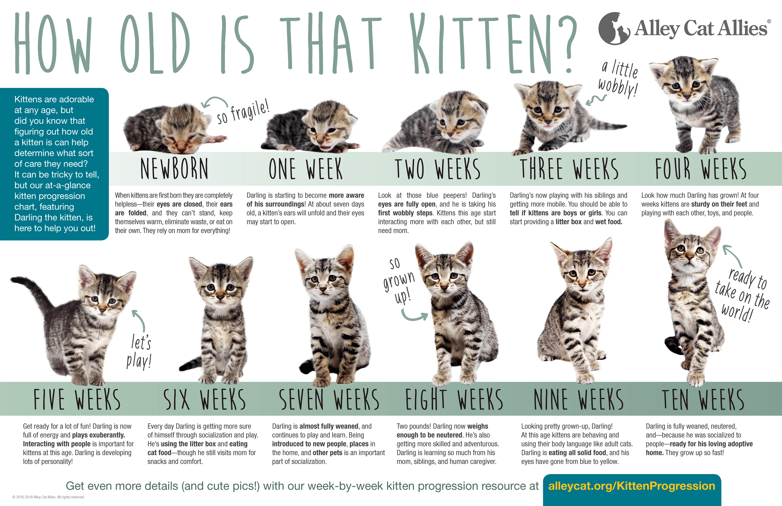 How old is that kitten? Kitten Progression At-A-Glance